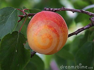 Ripe apricot on the bough