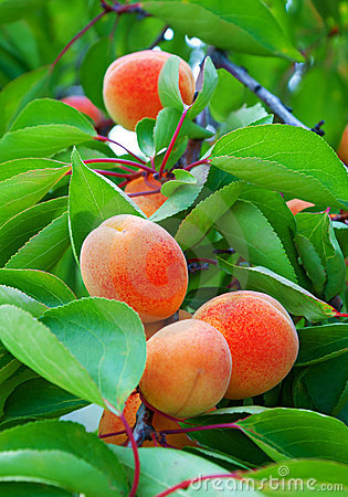 Ripe apricots grow on a branch