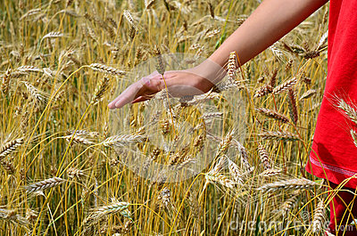 Ripe barley field, person in red, hand stroking