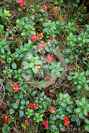 The ripe berries of cowberries
