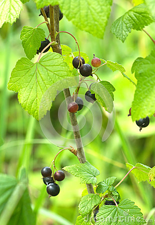 Ripe black currant berries grows closeup