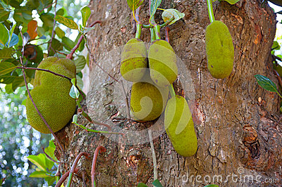 Ripe breadfruits