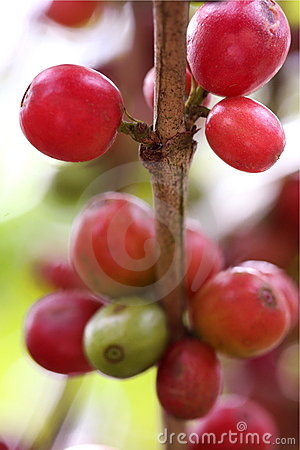Ripe coffee beans on the branch