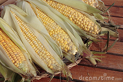 Ripe corn cob in autumn