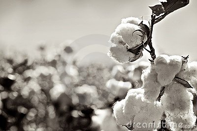 Ripe cotton bolls on branch