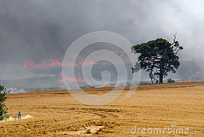 Ripe crop of wheat on fire