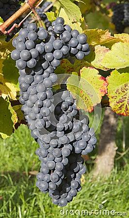 Ripe dark blue wine grapes