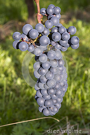 Ripe dark blue wine grapes