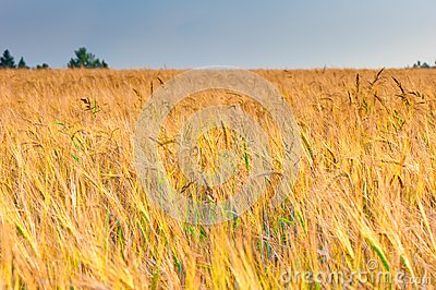 Ripe ears of wheat in the sunlight before harvest