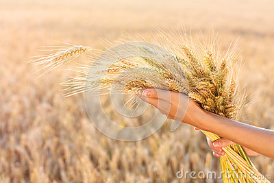 Ripe Ears Wheat In Woman Hands Royalty Free Stock Photography - Image: 25479967