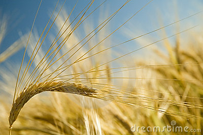 Ripe golden wheat 2