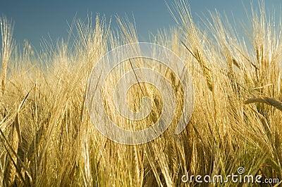 Ripe golden wheat 4