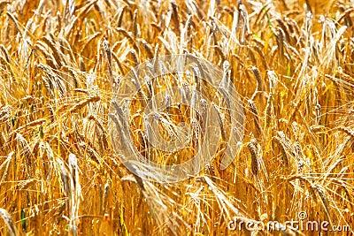 A ripe golden wheat field