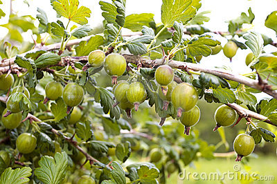 Ripe gooseberries on  branch