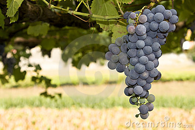Ripe grape cluster