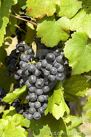 Ripe grape before harvest