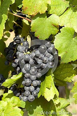 Ripe grape before harvest
