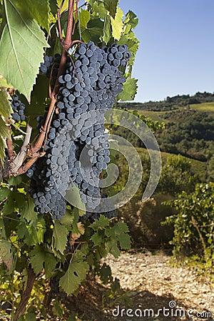 Ripe grapes, Chianti, Tuscany