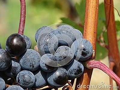 Ripe Grapes During Daytime Free Public Domain Cc0 Image
