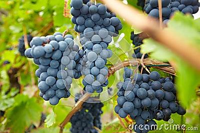 Ripe grapes in German vineyard
