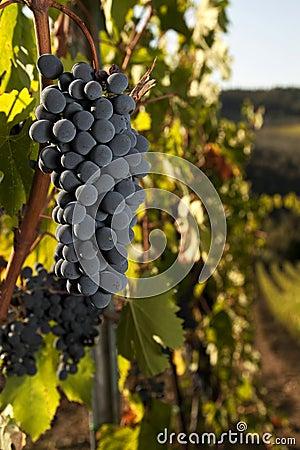 Free Ripe Grapes In Vineyard Stock Image - 16373481