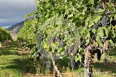Ripe Grapes, Okanagan Vineyard, British Columbia