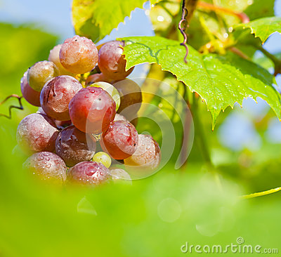 Ripe grapes on vine