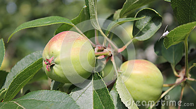 Ripe green apples on tree