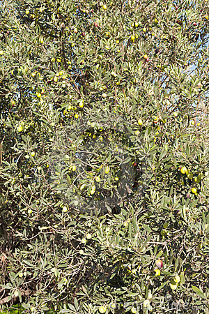 Ripe Green and Black Olives on Tree