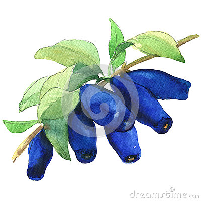 Free Ripe Honeyberries, Honeysuckle Berries Branch Isolated, Watercolor Illustration On White Stock Photos - 78742463