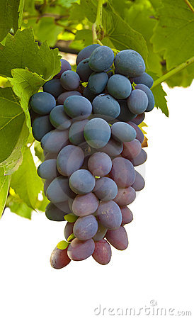 Ripe juicy cluster of grapes