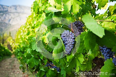 Ripe juicy grapes growing in valley