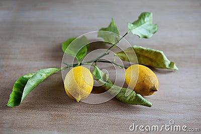 Ripe lemons on a leafy twig