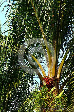 Ripe oil palm fruit