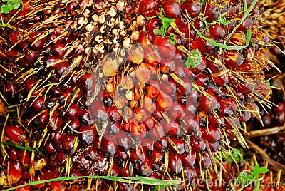 Ripe oil palm fruit bunch