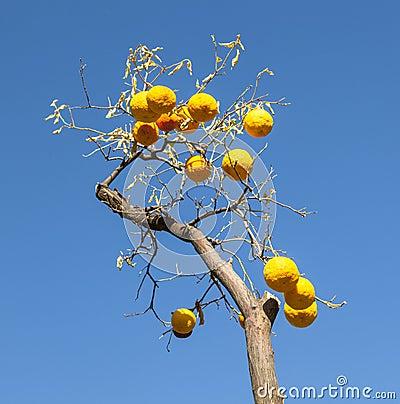 Ripe orange at the orange tree