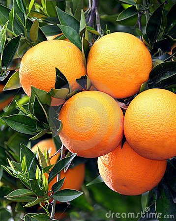 Ripe Oranges Stock Photos - Image: 8685363