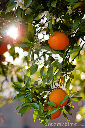Ripe Oranges On A Tree