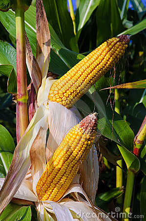 Ripe organic corn (maize)