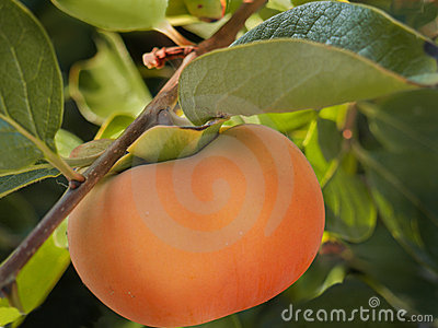 Ripe persimmon on tree