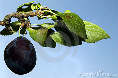 Ripe plum on branch