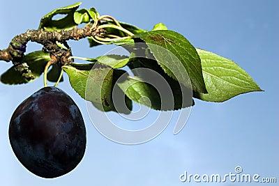 Ripe plum on branch