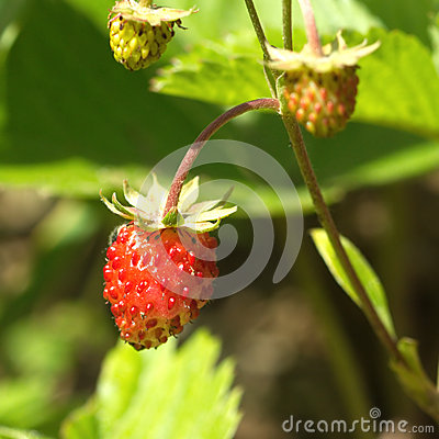 Ripe raspberries grows closeup