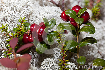 Ripe red cranberries in a forest glade