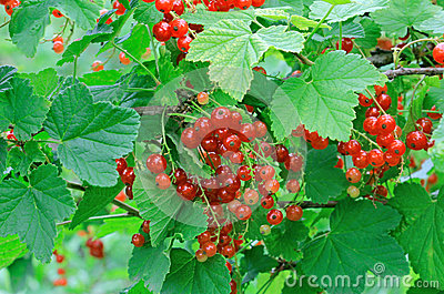 Ripe Red Currants Stock Photos - Image: 25647993