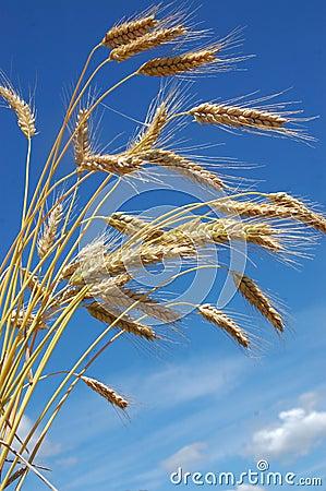Ripe rye-corn