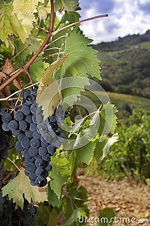 Free Ripe Sangiovese Grapes, Chianti, Tuscany Royalty Free Stock Image - 17298166