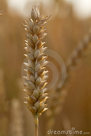 Ripe spike of wheat (lat. triticum)
