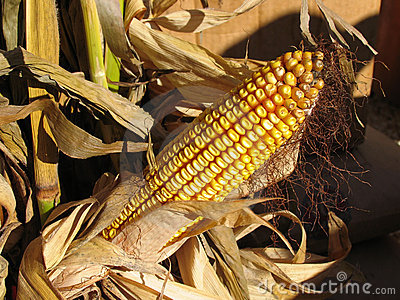 Ripe Stalk of Corn