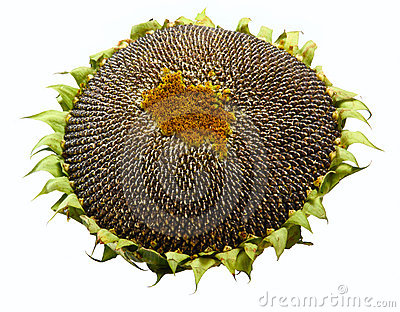 Ripe sunflower s seeds